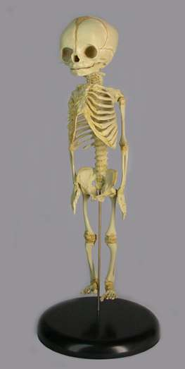 FETAL SKELETON - 30 WEEKS OLD